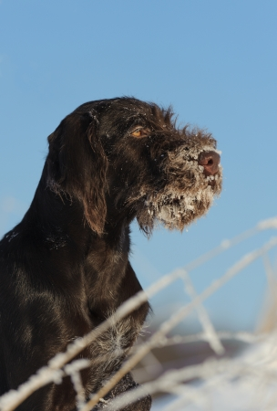 Brown dog portrait against the snow, vertical photo