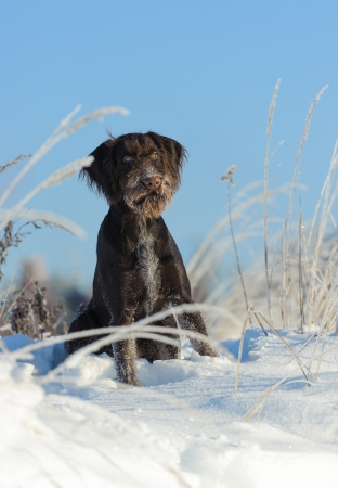wirehaired: Brown dog sits on snow against the sky, vertical Stock Photo