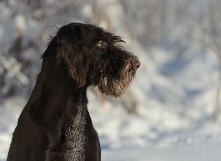 Brown dog portrait against the snow, horizontal photo