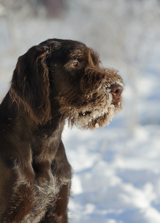 Brown dog portrait against the snow