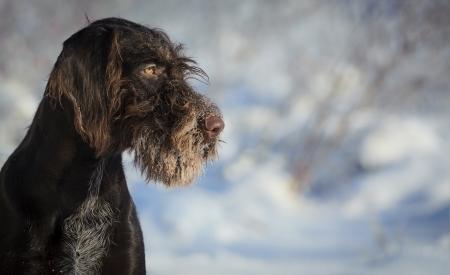 drahthaar: Brown dog portrait against the snow, horizontal