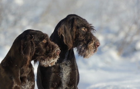 wirehaired: Two brown dogs portrait against the snow