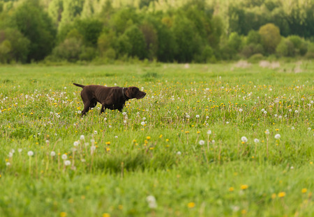 gait: Gun dog on green grass, horizontal, outdoors Stock Photo