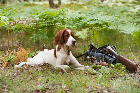 Gun dog near to shot-gun and trophies, horizontal, outdoors photo