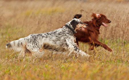 Two dogs runs on a green grass. Shallow DOF, focus on dog. Shooting with panning. Imagens
