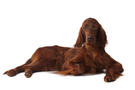 The Irish Setter isolated on white, horizontal Imagens