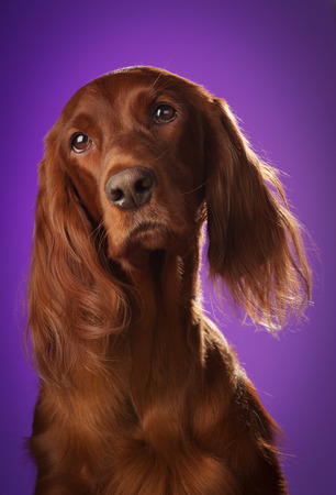 red dog portrait on purple background, in studio, vertical photo