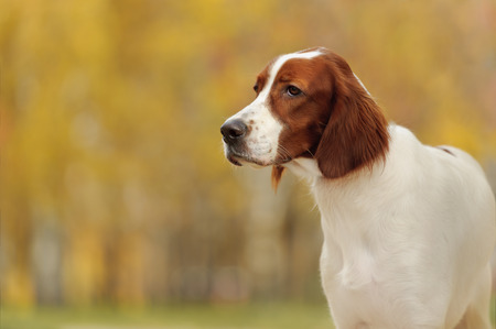 Portrait of a irish red and white setter, horizontal photo