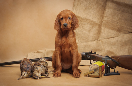 Puppy and hunting accessories, horizontal, studio photo