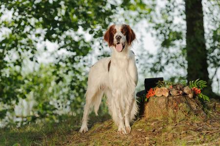 Irish red and white setter near to trophies, horizontal, outdoors Standard-Bild