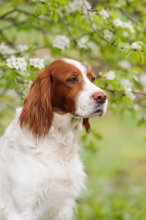 Portrait  irish red and white setter, vertical Stock Photo
