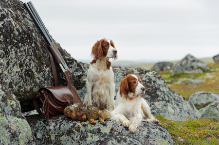 Two setters near to shot-gun and trophies, horizontal, outdoors Archivio Fotografico