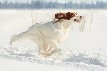 Irish red and white setter  running fast against white snow, outdoors, horizontal Stok Fotoğraf