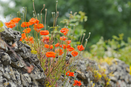 Red poppies on an old stone wall, summer, outdoors, horizontal Stock Photo