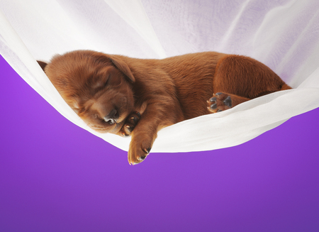Little puppy sleeping on white veil on lilac color background, studio, horizontal