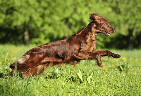 Red dog running against background  green grass. Shallow DOF, focus on dog. Shooting with panning.