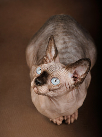 Cat with blue eyes of Sphinx breed sits on brown background, studio