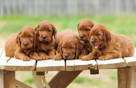 Five red setter puppies lie on wooden table, outdoors, horizontal Stock Photo