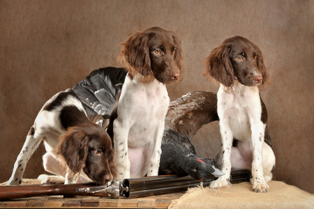 Three hunting puppies with weapons and wood grous, studio, horizontal Foto de archivo