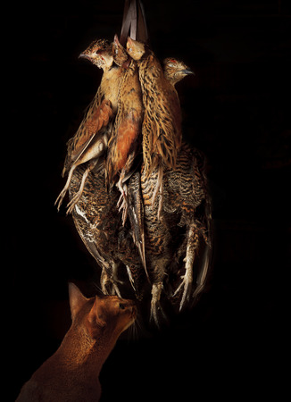 Cat and hunting trophies hang on bunches. Hunting trophies. Apportion of hunting trophies. An apportion of the bird game on hunting. A brace of landrail and graus after the hunt. Hunting of the birds. Stock Photo