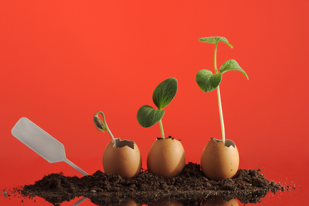 Three organic seedling plants in eggshells on red background, eco gardening. Horizontal.