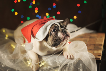 Sad french bulldog in santa hat on garland lights background. Horizontal. Banque d'images