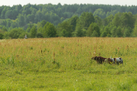 Two hunting dogs work on hunting for birds. Flying snipe. Horizontal.