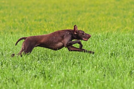 German short-haired pointer on field trial, outdoors, horizontal.