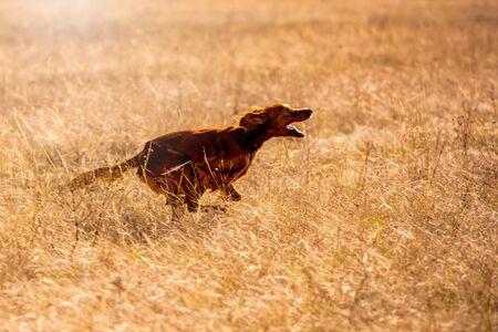 Irish red setter hunting. Dog run on field trial, outdoors, horizontal. Stock fotó