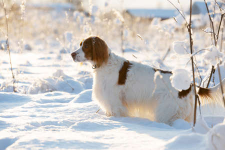 Beautiful spotted dog setter in the snow. Illuminated by the suns rays.