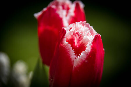 Red and White Tulips photo