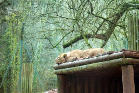 den: A sleeping lion on top of  its den