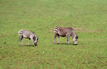 grassing: Two zebra grassing on grasses on a hill side Stock Photo