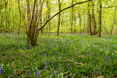 A view of the bluebells in a wooded area Stock Photo