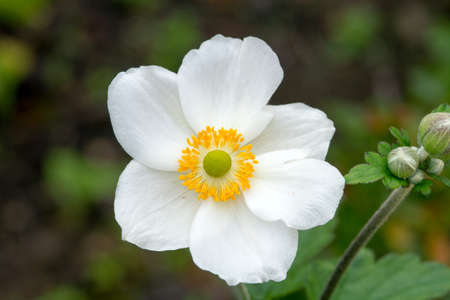 View of a white japanese anemone with yellow stamen