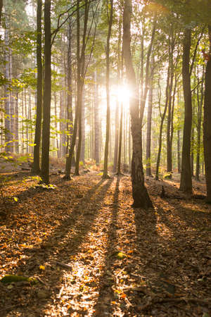Sun breaking through the autumn trees of the woods at dawn Foto de archivo