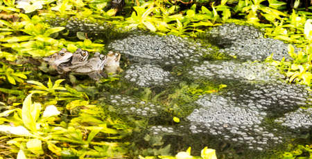 amphibia: Frogs on guard waiting for the tadpoles to hatch