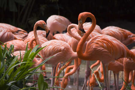 flamingos: A colony of Flamingos feeding