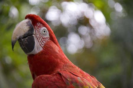 A Scarlet Macaws watchful gaze photo