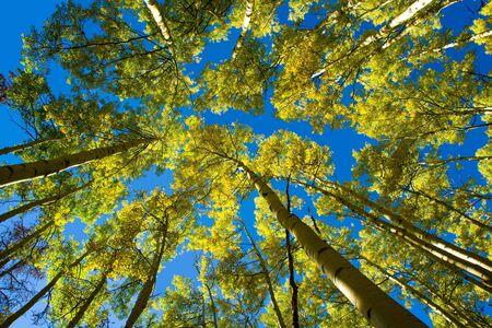A canopy of yellow aspen leaves against a brilliant blue sky on Ptarmigan Mountain, Colorado.