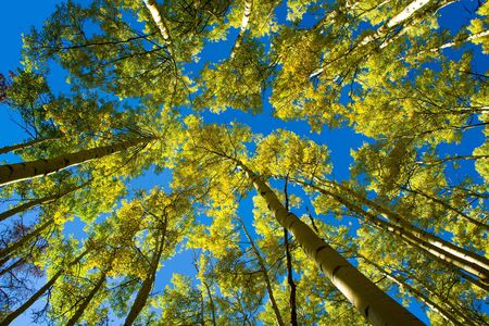 A canopy of yellow aspen leaves against a brilliant blue sky on Ptarmigan Mountain, Colorado.
