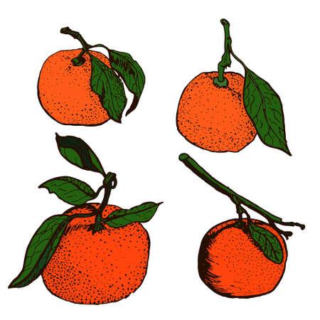 Tangerine sketches Vector