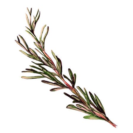 thyme: Rosemary hand getrokken schets
