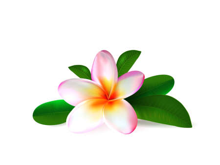 Realistic pink plumeria flower with fresh green leaves isolated  on white background