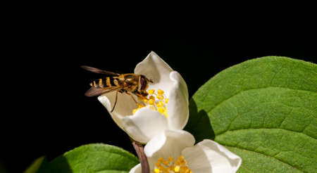 Bee collects pollen on a white flower, macro shot, selective focus Stock Photo