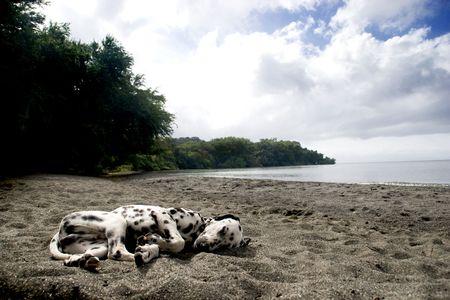 dalmation: Lazy dalmation dog sleeping on the beach.