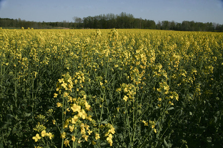 colza: Field with yellow flower colza