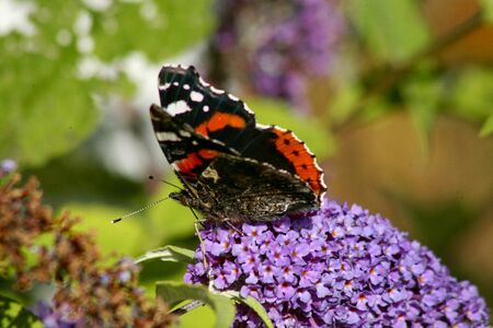 Admiral butterfly sitting on flower Stock Photo