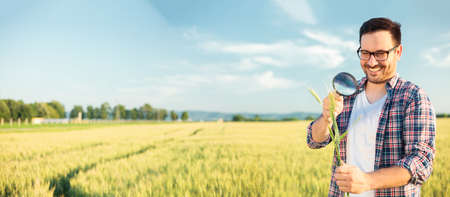 Happy young agronomist or farmer inspecting wheat plant stems with a magnifying glass. Working in a field before the harvest. Wide screen ratio, panoramic photo. Organic farming and healthy food production.