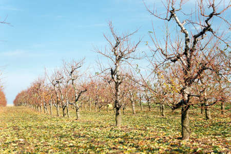 Cherry tree orchard with bare trees in late autumn. Organic farming and food production